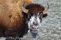 Bizon-Bison-Bisons-Bison bison-portret