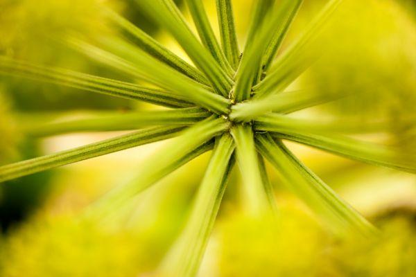 engelwortel-garden-angelica-angelica-archangelica-20141219-170811814529DB33E1-D973-4131-73EE-89C7896AB261.jpg