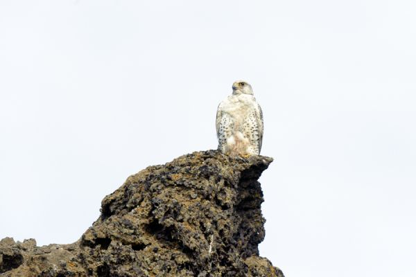 giervalk-gyr-falcon-falco-rusticolus-20141219-124473694552E6823D-B511-85CB-7246-8675623BCE2B.jpg