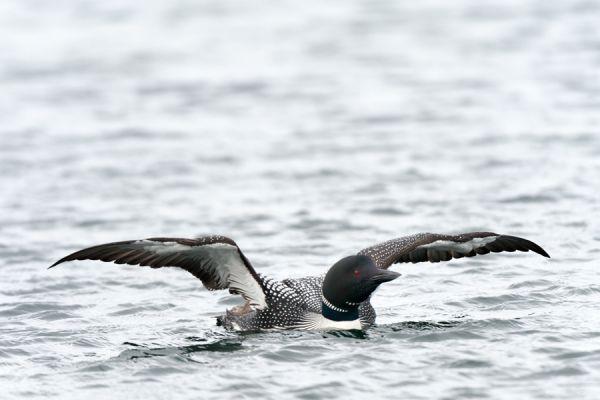 ijsduiker-great-northern-diver-gavia-immer-20141219-13871631963D4786DA-CABC-209C-BDEA-11EFE8544ABC.jpg