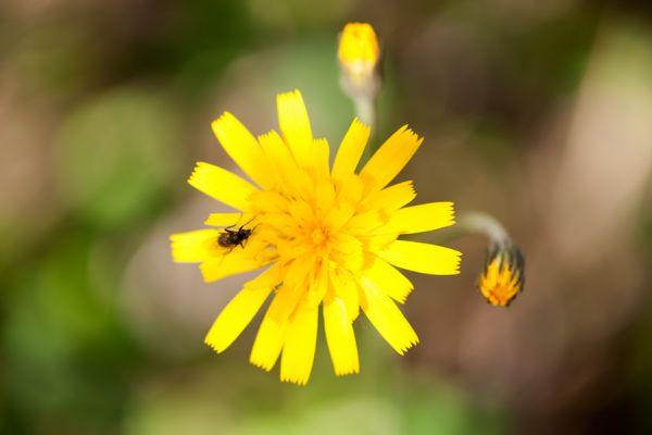 muizenoor-mouse-ear-hawkweed-hieracium-pilosella-20141219-193594559476015459-D50E-E947-1583-F769D566CC92.jpg