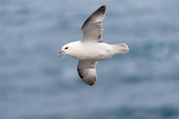 noordse-stormvogel-fulmar-fulmanus-glacialis-1-20141219-1355307027595DEBDB-9198-0A5A-BA62-18AA5C9793D0.jpg
