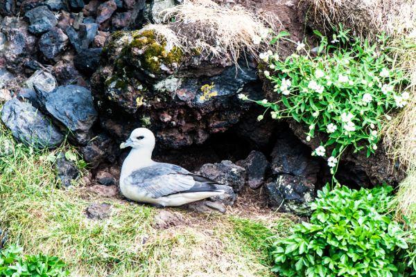 noordse-stormvogel-fulmar-fulmanus-glacialis-20141219-109435285899063D33-78F8-9131-1A4C-7C4756E46856.jpg