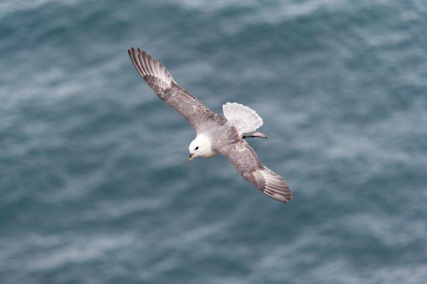 noordse-stormvogel-fulmar-fulmanus-glacialis2-20141219-1354950426900FE015-1A66-5288-590C-769308E0BA8D.jpg