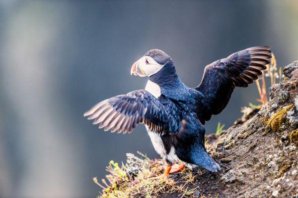 papegaaiduiker-puffin-fratercula-arctica-1-20141219-198355789249FC7369-B87C-ADC5-D65A-81E88EC30374.jpg
