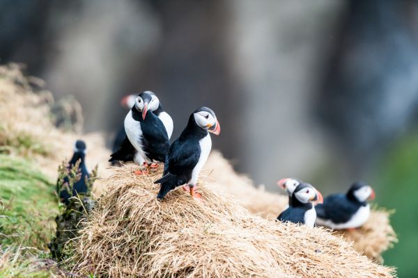 papegaaiduiker-puffin-fratercula-arctica-4-20141219-1755767660CCE3BF60-8006-E7A7-1997-EE1DCA866ACC.jpg