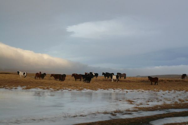 ijslandse-paarden-icelandic-horses-20141219-134337886752FAE866-7EB5-0CB8-5A35-64622361AC8E.jpg