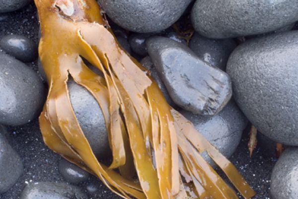 kelp-spookje-kelp-phantom-20141219-1393390075F715C0E2-19DA-DCB0-2741-8E47B7BA8134.jpg