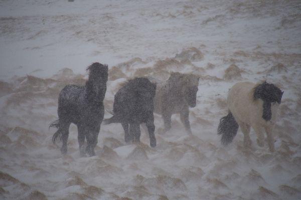 ijslanders-in-sneeuwstorm-icelandic-horses-in-snowstorm-20150224-1275490633E5CDAB48-B958-16F0-0373-95C3D68A1C6E.jpg