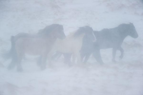 ijslanders-in-sneeuwstorm-icelandic-horses-in-snowstorm-20150224-1641082261908D945A-A13A-EF6E-853C-608F9A555560.jpg