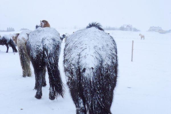 ijslanders-met-de-kont-in-de-sneeuw-icelandic-horses-in-snowstorm-20150224-1087805376DDD027FB-DEF6-A684-F5D9-12584BFE480A.jpg