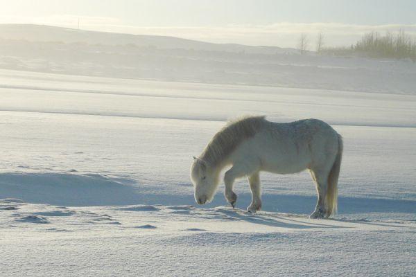 ijslands-paard-op-zoek-naar-eten-icelandic-horse-forraging-20150224-17112102297A92B21C-E68B-EF09-7357-E3AE49508A74.jpg