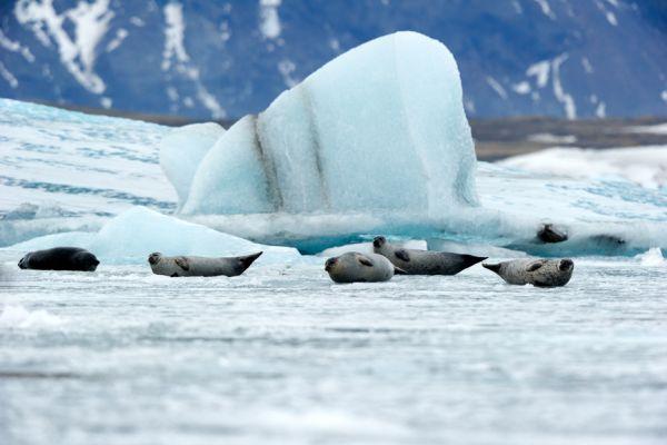 joekulsarlon-zeehonden-op-het-ijs-seals-at-joekulsarlon-ice-20150224-1860617674F5C742B4-1821-0950-CB49-498AAB0349A1.jpg