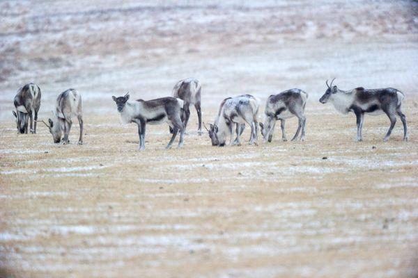 rendier-kudde-reindeer-herd-rangifer-tarandus-20150224-139746923603A7FC26-5580-C2D9-9F2F-5EC481A91D5F.jpg