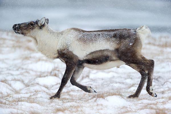rendier-op-pad-reindeer-walking-rangifer-tarandus-20150224-1005062558452D1488-26CA-5584-A9BF-58485FE9E7EC.jpg