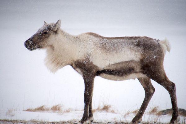 rendier-op-pad-reindeer-walking-rangifer-tarandus-20150224-17558364799A3D3831-61B4-5AA5-A9AD-B85E9EFE69A4.jpg
