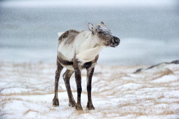 rendier-portret-reindeer-close-up-rangifer-tarandus-20150224-188983730970B34427-48EC-F31B-7CB5-B9AEB98EE77D.jpg