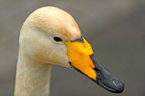 wilde-zwaan-portret-whooper-swan-portrait-cyngus-cyngus-20150224-189749468075002E98-27A7-9D3F-FB24-DAC6610A4560.jpg