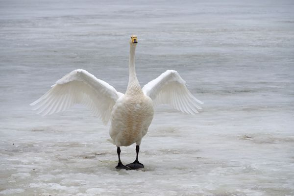 wilde-zwaan-whooper-swan-spreading-its-wings-cygnus-cygnus-20150224-15270226090BDF472C-0B10-C658-6079-DFBF464FF79F.jpg