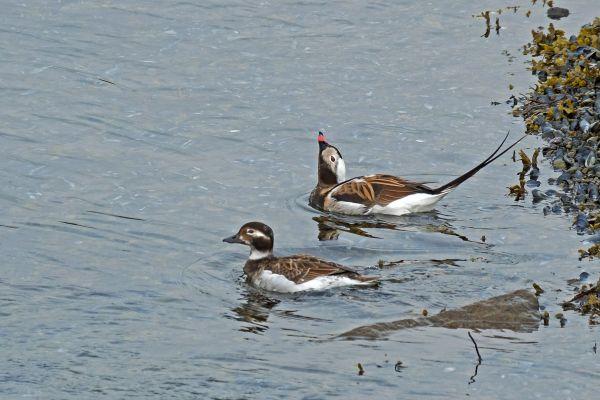 ijseend-long-tailed-duck-eisente-clangula-huemalis-20170625-119436903690D32C14-E12E-D528-2B5B-EE41BD6DECC3.jpg