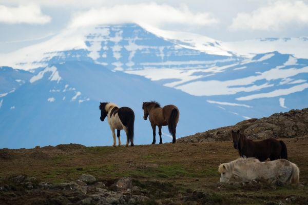 ijslandse-paarden-op-hun-plek-icelandic-horses-on-the-right-spot-island-pferden-am-ihre-platz-20170625-1550064039F9B2E223-1B6A-4865-56EE-5FD5B5005942.jpg