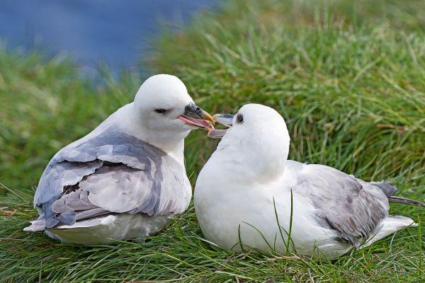 noordse-stormvogel-fulmar-eissturmvogel-fulmarus-glacialis-20170625-1388854471D28176CC-9C40-3277-8532-886E16F8E732.jpg