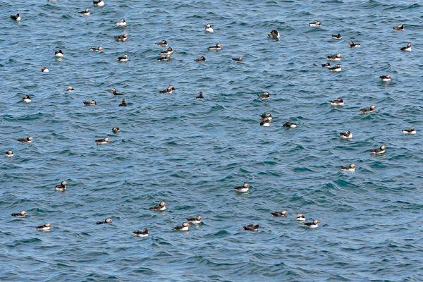 papegaaiduiker-op-zee-puffin-papageitaucher-fratercula-arctica-20170625-1914948408056D3FEB-DA1B-EFC8-F9DF-0C777AC81C10.jpg