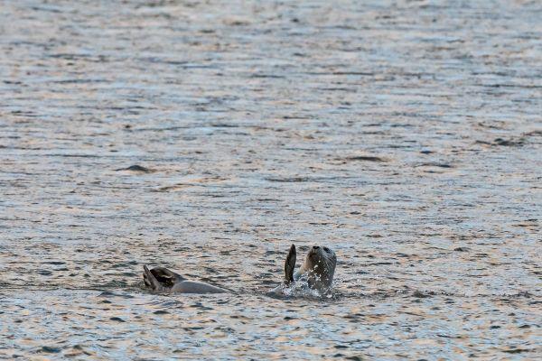 zeehond-seal-hundsrobben-phocidae-20170625-1937582556173DF437-A7E9-7ABB-454E-ABE9C9882950.jpg