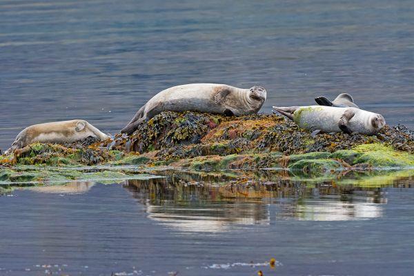 zeehonden-seals-hundsrobben-phocidae-20170625-1916699452DE871C81-BE00-322E-0684-709C233C5E91.jpg