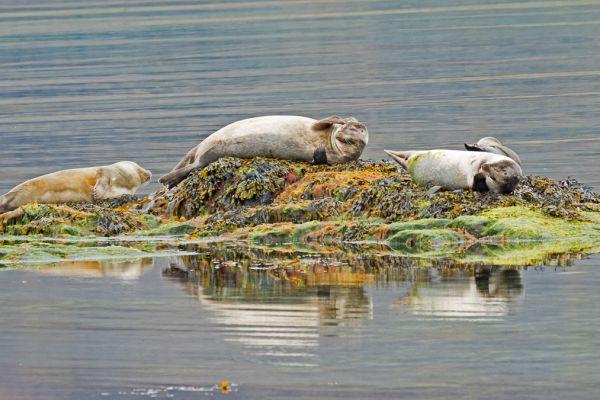 zeehonden-seals-hundsrobben-phocidae-lekker-luieren-20170625-1893541371580C555B-B616-36EB-4E81-E1E98F31846B.jpg