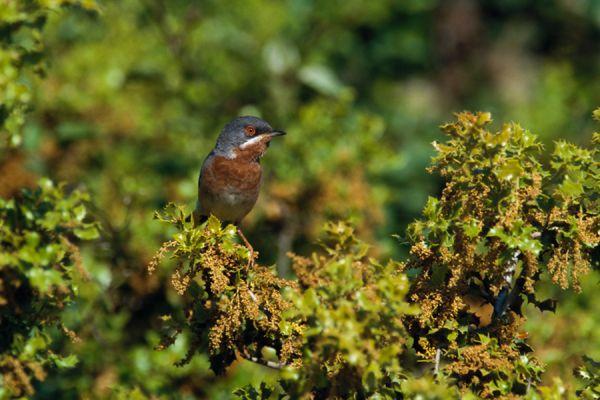 baardgrasmus-subalpine-warbler-sylvia-cantillans-20141219-1485424752CE137157-BA63-300C-8AC9-F545DAD55D6B.jpg