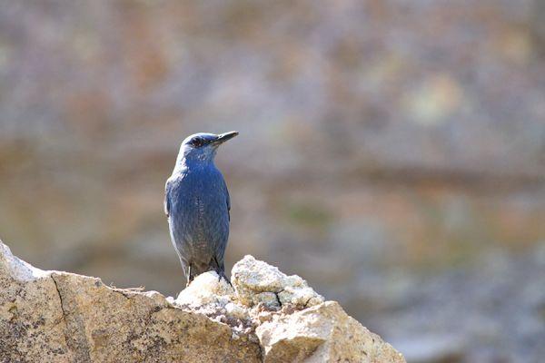 blauwe-rotslijster-blue-rock-thrush-monticola-solitarius-1-20141219-1600483016663F45F8-23A3-A74D-8CBE-98DCFE847143.jpg