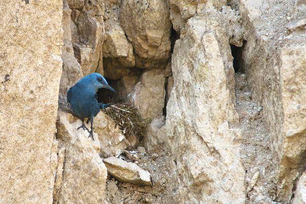 blauwe-rotslijster-blue-rock-thrush-monticola-solitarius-20141219-1451942504D8F4C26F-A5F0-8502-2F16-DAA20B53B831.jpg