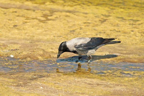 bonte-kraai-carrion-crow-corvus-corone-cornix-20141219-119509590550C7C110-4358-9DA7-F091-94E1AA7CD86E.jpg