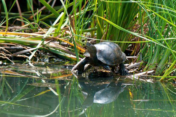kaspische-beekschildpad-caspian-turtle-or-striped-neck-terrapin-mauremys-caspica-20141219-1482496278AECBA27D-6269-F724-92B2-B7C444C87460.jpg