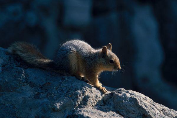 kaukasuseekhoorn-caucasian-squirrel-sciurus-anomalus2-20141219-14931228694FDED388-92C0-E863-1E10-D5DA4526AE68.jpg