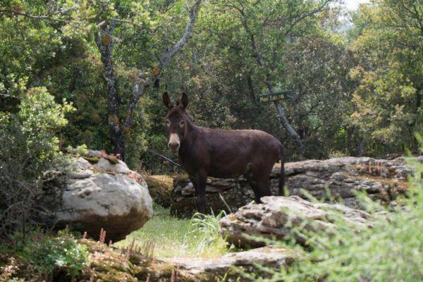 ezel-donkey-or-ass-equus-africanus-asinusAFC477DE-E9B8-672E-59CA-BE9E37BEB9F9.jpg