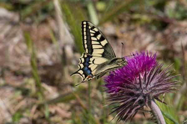 koninginnepage-swallowtail-papilio-machoon-20150527-20577389193641A243-F59D-AFD3-9446-661816A195CB.jpg