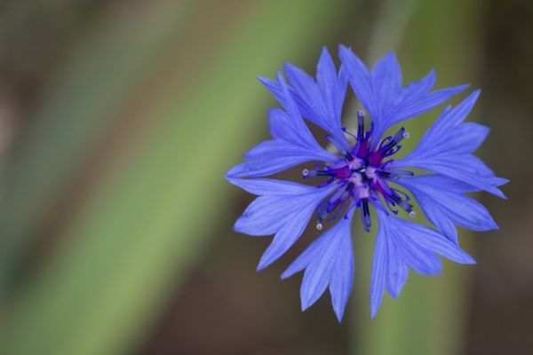 korenbloem-cornflower-centaurea-cyanus-20150527-125532530243E65723-66F9-72CC-8EC0-B0F9B3704CAB.jpg