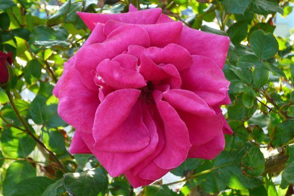 roos-rose-20150527-14401985797C4D7339-9832-76FB-66C0-B2007B801FBF.jpg