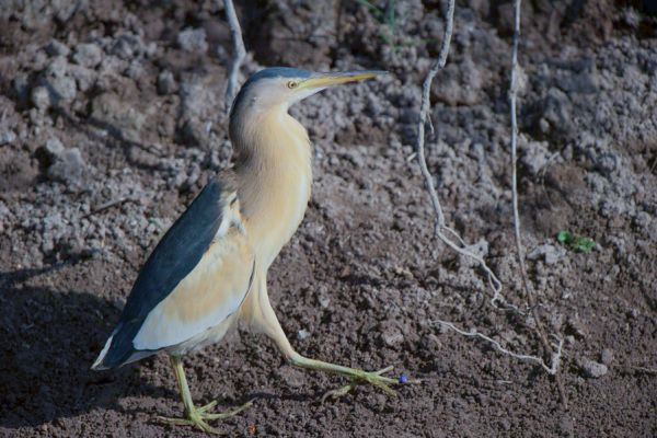 woudaap-man-little-bitern-male-ixobrychus-minutus-20150527-1881863025CB66F70F-FA93-9AE3-4EEC-35C0F507E7AB.jpg