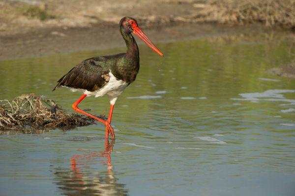 zwarte-ooievaar-op-stap-black-stork-ciconia-nigra-20150527-139200465118B598F7-E7B8-EB79-52E1-F0CC3F42FB19.jpg