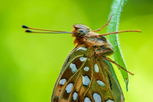 grote-parelmoervlinder-dark-green-fritillary-argynnis-aglaja-20150113-1595971856DB736BBD-1520-1698-EE17-7AC88B3B17E1.jpg