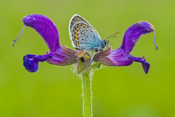 heideblauwtje-silver-studded-blue-plebejus-argus-20150113-1864519678FAD954EE-5F8A-91B8-5385-5CD0E0BEE37A.jpg
