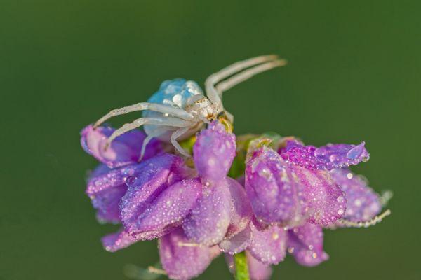 krabspin-crab-spider-thomisidae-20150113-20818405412D9D8C3F-4BCA-EFDB-755E-B47B87B1F28B.jpg