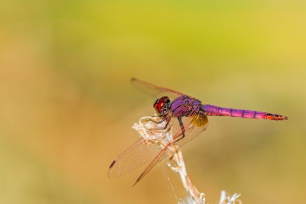 purperlibel-violet-dropwing-trithemis-annulata-20150113-1079742070063978C4-DF6E-B039-A5EE-CA692A7960A0.jpg