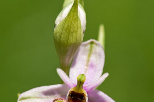 snip-orchis-woodcock-bee-orchid-ophrys-scolopax-20150113-107101824999C4F7A5-CCB4-2D39-B9AD-23FBD2FC4761.jpg