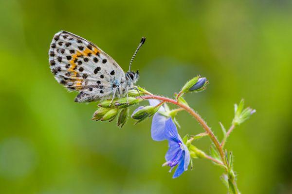 vetkruidblauwtje-chequered-blue-butterfly-scolitantides-orion-20150113-18443637959F5BF921-C195-9882-85BA-41C8C00D754A.jpg