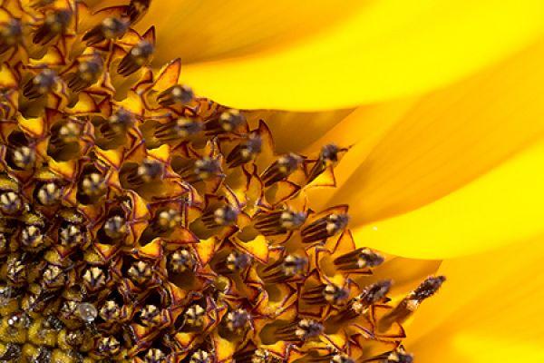 zonnebloem-sunflower-helianthus-20150113-17756578163481BA27-97BB-87EE-6C07-CDF7A919959D.jpg