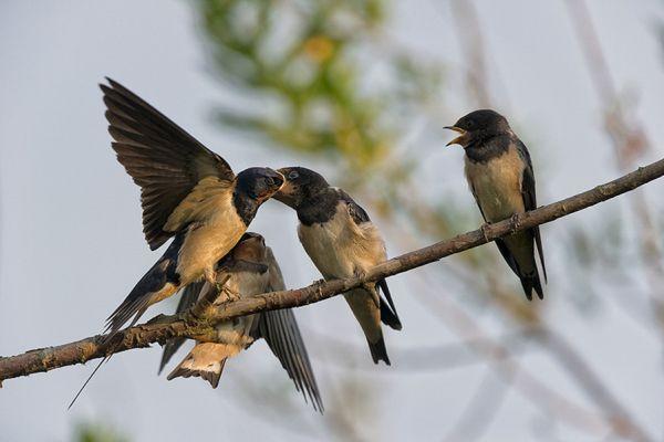 boerenzwaluw-barn-swallow-hirundo-rustico-20141220-1185738508CF0638C2-7736-9EA5-BD07-20B41DFF8B06.jpg